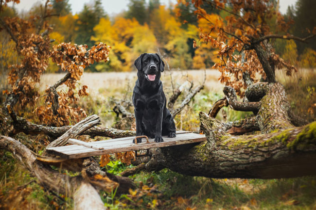"dog-in-autumn ""width ="" 650 ""height ="" 433 ""srcset ="" https://www.ohadog.com/wp-content/uploads/2019/06/Danger-in-autumn-why-dog-​​owners-should-pay-attention.jpg 650w, https: // hund.info/wp-content/uploads/2015/10/hund-im-Herbst-300x200.jpg 300w, https://hund.info/wp-content/uploads/2015/10/hund-im-Herbst-600x400 .jpg 600w ""data-lazy-sizes ="" (max-width: 650px) 100vw, 650px ""></p> <p></p> <p><strong>Poisons in chestnuts </strong></p> <p></p> <p>Chestnuts look barely threatening with their smooth and shiny surface. For this reason, many dog ​​owners use the chance to throw their four-legged friends the little ""balls"" and to integrate a fun game in the walk. However, chestnuts contain some poisons that are found not only in the shell, but also inside the small fruits. Although glycosides and saponins have to be taken in quite high doses, they can cause unpleasant digestive problems in smaller quantities.</p> <p></p> <p>So it may come after the consumption of chestnuts not only serious symptoms of intoxication. Diarrhea and vomiting are also possible. It is better for the dog, chestnuts prefer to lie down and put on the treats from the owner's pocket.</p> <p></p> <p><span style="