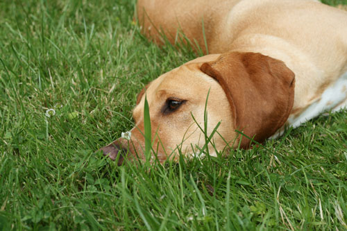 """achtung-grasmilben """"width ="""" 500 """"height ="""" 333 """"srcset ="""" https://www.ohadog.com/wp-content/uploads/2019/06/Effective-help-against-grass-mites.jpg 500w, https://hund.info/ wp-content / uploads / 2015/06 / achtung-grasmilben-300x200.jpg 300w, https://hund.info/wp-content/uploads/2015/06/achtung-grasmilben-310x205.jpg 310w """"data-lazy- sizes = """"(max-width: 500px) 100vw, 500px""""></p> <p></p> <p></p> <p>The little tormentors have quite a preference for finding bodies on the dog's body. So they are not only found on the inner thighs or between the toes, but also inside the ears or in the nose. The dog's abdomen is often attacked by grass mites. The first thing that strikes a dog owner are sudden bald spots in the fur of the animal. The skin also looks very dry and flaky. Another indicator of an infestation with grass mites are orange-yellow impurities of the skin. Frequent scratching or shaking of the head is another sign that they may be grass mites.</p> <p></p> <p></p> <p><strong>Fast action is important</strong></p> <p></p> <p><img class="""