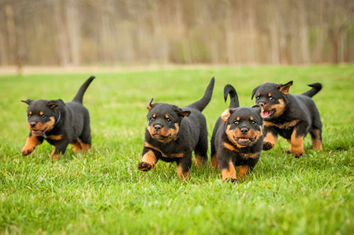 """dog litter """"width ="""" 500 """"height ="""" 333 """"srcset ="""" https://www.ohadog.com/wp-content/uploads/2019/06/How-epigenetics-and-dog-breeding-are-related.jpg 500w, https://hund.info/wp-content/ uploads / 2015/06 / hundewurf-300x200.jpg 300w, https://hund.info/wp-content/uploads/2015/06/hundewurf-310x205.jpg 310w """"data-lazy-sizes ="""" (max-width: 500px) 100vw, 500px """"></p> </pre> <div class='code-block code-block-2' style='margin: 8px auto; text-align: center; display: block; clear: both;'> <script async src="""