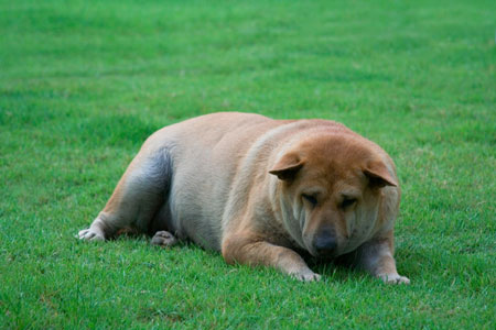 """Dog-overweight """"width ="""" 450 """"height ="""" 300 """"srcset ="""" https://hund.info/wp-content/uploads/2014/02/dog-with-overweight.jpg 450w, https: // hund.info/wp-content/uploads/2014/02/Hund-mit-uebergewicht-300x200.jpg 300w """"data-lazy-sizes ="""" (max-width: 450px) 100vw, 450px """"></p> <p></p> <p><strong>If you have any questions about the weight, ask your veterinarian</strong></p> <p></p> <p>If you are not sure how much your dog is allowed to weigh, consult your veterinarian. However, you do not have to be recommended by the vet because most of them have contracts with just one manufacturer – not always this is the best. Also refrain from cheap convenience food from the supermarket and:</p> <p></p> <p style="""