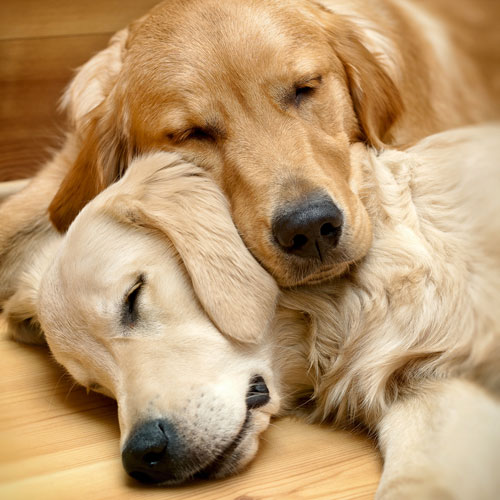 "Dog-sleep ""width ="" 500 ""height ="" 500 ""srcset ="" https://hund.info/wp-content/uploads/2015/05/dog-sleep.jpg 500w, https://hund.info/ wp-content / uploads / 2015/05 / dogs-sleep-300x300.jpg 300w, https://hund.info/wp-content/uploads/2015/05/dog-sleep-200x200.jpg 200w ""data-lazy- sizes = ""(max-width: 500px) 100vw, 500px""></p> <p></p> <p>It is certainly amazing to hear that the average dog needs between 17 and 20 hours of rest per day in adulthood. Puppies, sick dogs and old animals need more rest once again and can therefore reach up to 22 hours daily. Many dog ​​owners are frightened when they hear such numbers, because their own dog does not seem to rest as much as it should. As a rule, however, there is no reason to be worried about this, as the entire nap includes the short naps that dogs sometimes take. The dozing in the sun or an extended pampering unit fill the energy storage again. Most of the time, the sleeping dog spends a light sleep phase. Only five to eight hours a day are so-called deep sleep phases.</p> <p></p> <p><img class="