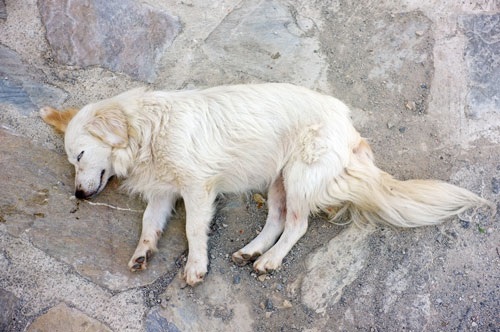 "fainting-dog ""width ="" 500 ""height ="" 332 ""srcset ="" https://www.ohadog.com/wp-content/uploads/2019/06/What-to-do-if-the-dog-dies-unconscious.jpg 500w, https: // hund.info/wp-content/uploads/2015/05/ohnmacht-beim-hund-300x199.jpg 300w, https://hund.info/wp-content/uploads/2015/05/ohnmacht-beim-hund-310x205 .jpg 310w ""data-lazy-sizes ="" (max-width: 500px) 100vw, 500px ""></p> <p></p> <p></p> <p>By all means, illnesses can be a reason for sudden unconsciousness. Especially with cardiac arrhythmias or heart failure, the risk of unconsciousness is quite high, if the underlying disease is unrecognized or untreated. The metabolism of a dog can also play a role. For example, if the animal suffers from hypoglycaemia or high blood sugar levels, the body reacts with the collapse. In addition to some underlying diseases, however, accidents can cause unconsciousness. If the dog comes in contact with high voltage or poisoned, this represents an extreme danger to the body. Even by injuries of the brain or the spinal cord, unconsciousness may arise.</p> <p></p> <p>Basically, it is not always easy for the dog owner to recognize the reasons for the unconsciousness. In any case, the animal must be brought as soon as possible after first aid in an animal clinic or to his veterinarian. If transport is not possible, the veterinarian should be called by phone so that he can help the animal on the spot. Dog owners therefore do well to always bring a cell phone and store the phone number of the veterinarian and alternatively a veterinary clinic up close.</p> <p></p> <p></p> <p><strong>Is my dog ​​unconscious?</strong></p> <p></p> <p><img class="