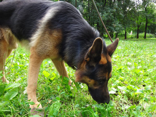 """kotfressen-hund """"width ="""" 500 """"height ="""" 375 """"srcset ="""" https://www.ohadog.com/wp-content/uploads/2019/06/When-the-dog-eats-feces-What-is-it-what.jpg 500w, https://hund.info/ wp-content / uploads / 2015/09 / kotfressen-hund-300x225.jpg 300w """"data-lazy-sizes ="""" (max-width: 500px) 100vw, 500px """"></p> <p></p> <p><strong>stomach discomfort </strong></p> <p></p> <p>If the dog has problems with the stomach, for example, if it is acidified, it helps itself. While some dogs tend to eat degrees or parts of plants, other feces choose as self-medication.</p> <p></p> <p><strong> </strong></p> <p></p> <p><strong>nutrient deficiency </strong></p> </pre> <div class='code-block code-block-2' style='margin: 8px auto; text-align: center; display: block; clear: both;'> <script async src="""